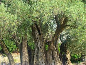 Photo: Stara Maslina - najstarsze drzewo oliwne - Czarnogóra