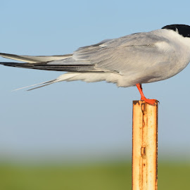 Common Tern On A Post  by Lorraine D.  Heaney - Animals Birds