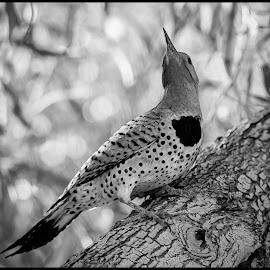 Northern Flicker by Dave Lipchen - Black & White Animals ( northern flicker )