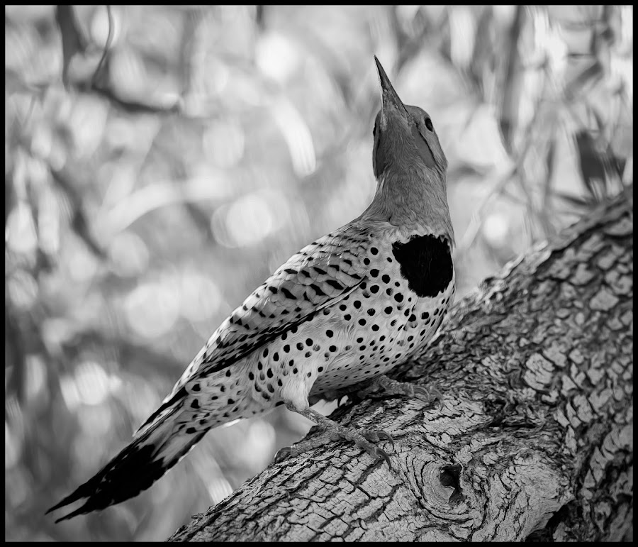 Northern Flicker by Dave Lipchen - Black & White Animals ( northern flicker )