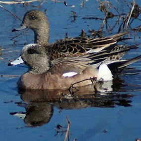 wigeon by Shawn Chapman - Animals Birds
