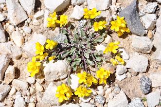 Photo: Physaria pulchella (David Hanna)