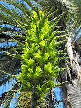 Photo: Chagual o Puya (Puya Chilensis)