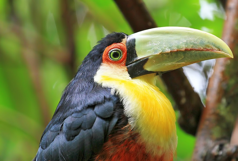 Red-breasted Toucan! by Itamar Campos - Animals Birds (  )