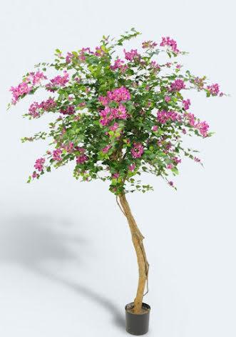 Bougainvillea tree - 140cm & 240cm