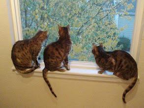 Photo: Fall 2010, and the 3 cats are fascinated by the wind blowing the falling leaves.