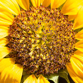 Sunflower centre. by Simon Page - Flowers Single Flower