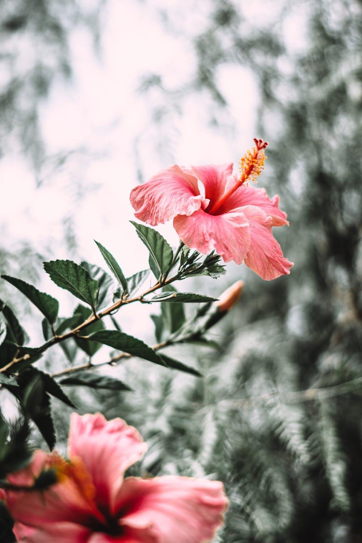 Wie schnell wächst Hibiskus?