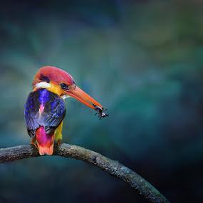 kingfisher by Sasi- Smit - Animals Birds