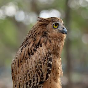 owl by Vian Arfan - Animals Birds