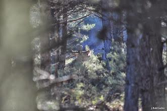 Photo: El momento era especial, diferente, mágico. El amanecer, el marco de los pinos, el gran macho tumbado...el sonido retumbando en el pinar.