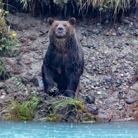Grizzley Bear by Keith Sutherland - Uncategorized All Uncategorized ( rain, wilderness, bear, grizzley bear, wildlife )