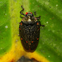 """Golden"" Froghopper"
