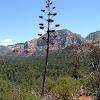 Century Plant aka Agave