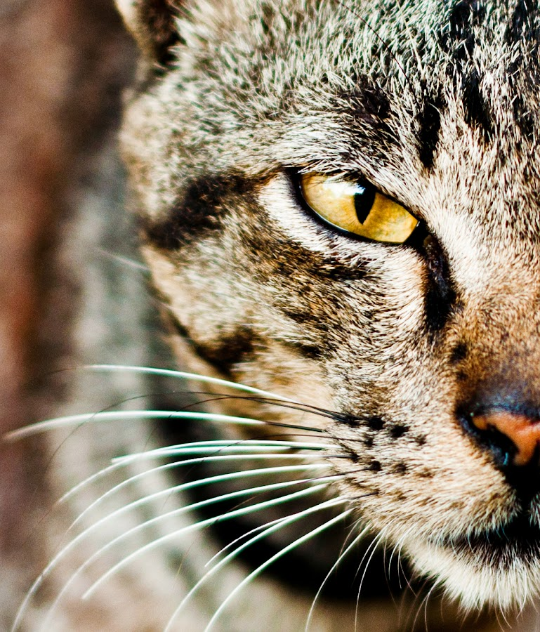 close up by Ino Goh Weikeong - Animals - Cats Portraits ( cat, close up )