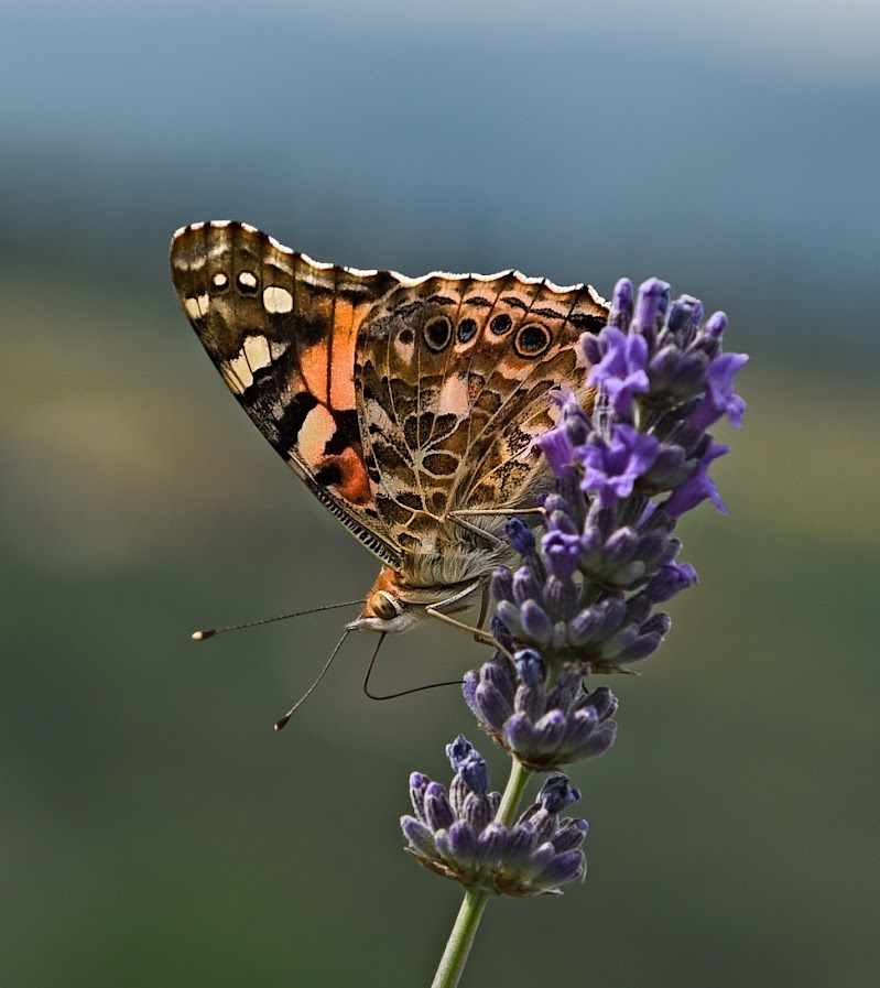 The  Butterfly di alessio_df