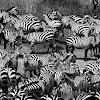 Cebra común (Plains zebra)