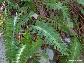 Photo: Polypody fern