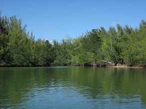 Photo: mangroves and Australian pines