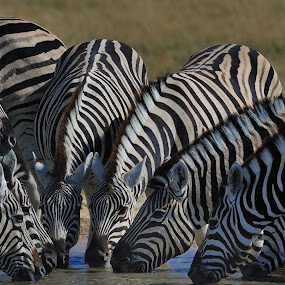 Zebra Spray by Jan Jacobs - Animals Other