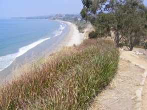 Photo: Vetiver hedge at top of vertical coastal bluff stabilizing the edge