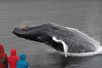 Photo: Breaching Humpback