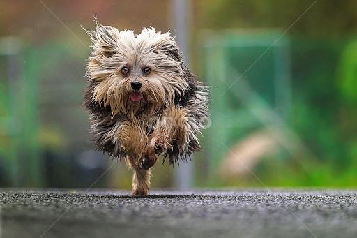 Kung Fu Terrier Running Animals Dogs Pixoto