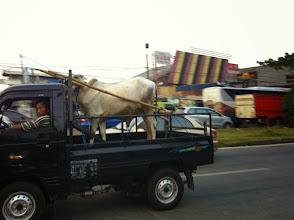 Photo: Vaca que será sacrificada en Idul Adha.