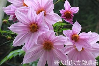 Photo: 拍攝地點: 梅峰-溫帶花卉區 拍攝植物: 帝王大理花 拍攝日期:2012_10_30_FY