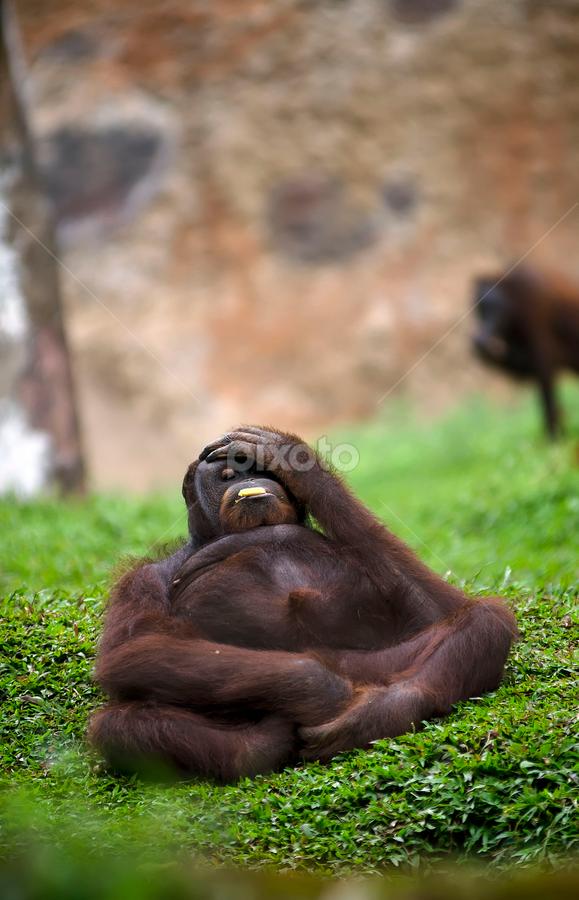 by Lim Darmawan - Animals Other Mammals ( animal, monkey )