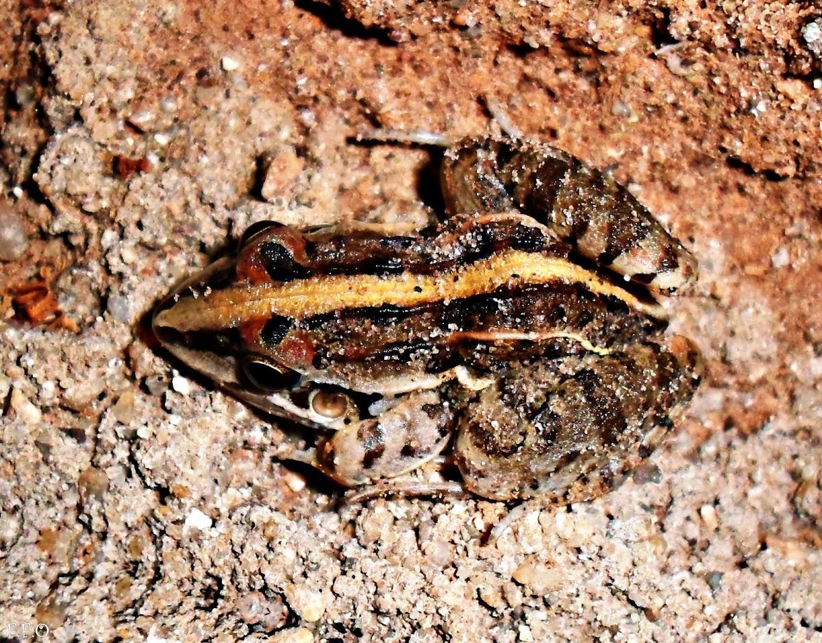 Leptodactylus fuscus