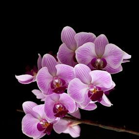 Orchid by Anita  Christine - Nature Up Close Flowers - 2011-2013 ( plant, orchid, purple, nature, pink, phalaenopsis, black, , Flowers, Flower Arrangements )