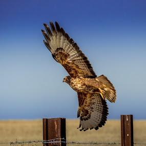 Between the uprights! by Adriaan Vlok - Animals Birds ( flying hawk, bird, flying bird, hawk,  )