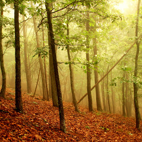 One by One by Aaron Shaver - Landscapes Forests ( nature, fog, trees, forest, beauty, gold, landscape, woods, light,  )