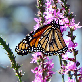 Monarch by Alison Gimpel - Animals Insects & Spiders ( butterfly, nature, monarch, plants, insects, wild flowers,  )