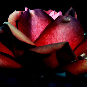The Evening Beauty by Sanjeev Leihao - Nature Up Close Flowers - 2011-2013