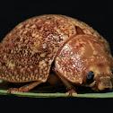 Variole Paropsine Beetle