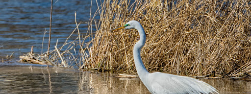 Great Egret (Ardea alba), Mating season. Check the greenish spot close to the eye and the long feathers., Rapids Park Lachine, Montreal, 2016/04/17