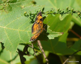 Photo: Pearl crescent butterfly (Phyciodes tharos)