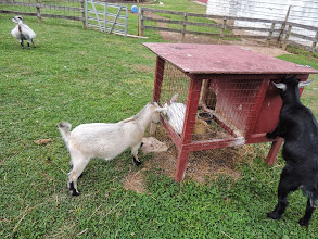 Photo: goats are butting and chewing the rabbit cage. . .see expectant Mama in the background. . .Gettysburg Farm Thousand Trails - Outdoor World
