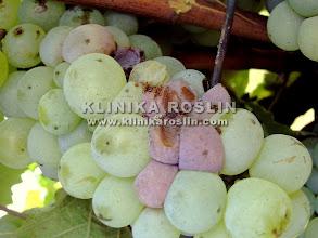 Photo: Szara pleśń - objawy na jagodach