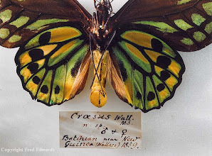 "Photo: Underside of Wallace's golden birdwing butterfly (Ornithoptera croesus). This species was discovered by Wallace in Bacan Island, Indonesia and named by him in 1859. He wrote the following about its capture in his book The Malay Archipelago: ""The beauty and brilliancy of this insect are indescribable, and none but a naturalist can understand the intense excitement I experienced when I at length captured it. On taking it out of my net and opening the glorious wings, my heart began to beat violently, the blood rushed to my head, and I felt much more like fainting than I have done when in apprehension of immediate death. I had a headache the rest of the day, so great was the excitement produced by what will appear to most people a very inadequate cause."" © Oxford University Museum & Fred Edwards"