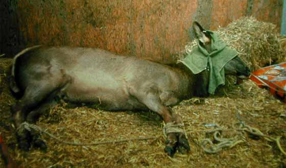 Wapiti sedated with xylazine hydrochloride.