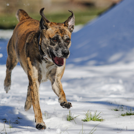 Springtime Play by William Wotring - Animals - Dogs Running ( snow, dog, spring, outside )