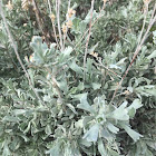 Great Basin Sagebrush