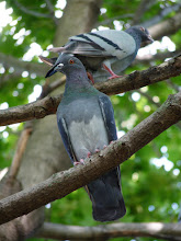 Photo: Rock Pigeons