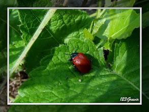 Photo: Chrysomèle du peuplier (Chrysomela populi)
