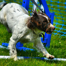 springer spaniel by Nic Scott - Animals - Dogs Playing ( dog, springer spaniel )