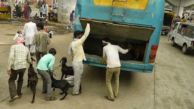 Photo: Tiertransport auf Indisch