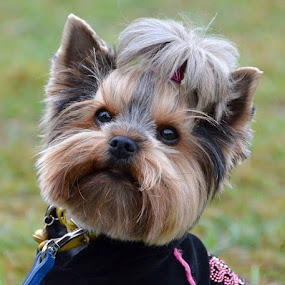 Pretty me by Natalie Ax - Animals - Dogs Portraits ( small, lovely, yorkshire, yorkie, portrait, cute, terrier, breed, hairstyle, beautiful, yorkshire terrier, animal, sweet, dog, pet )